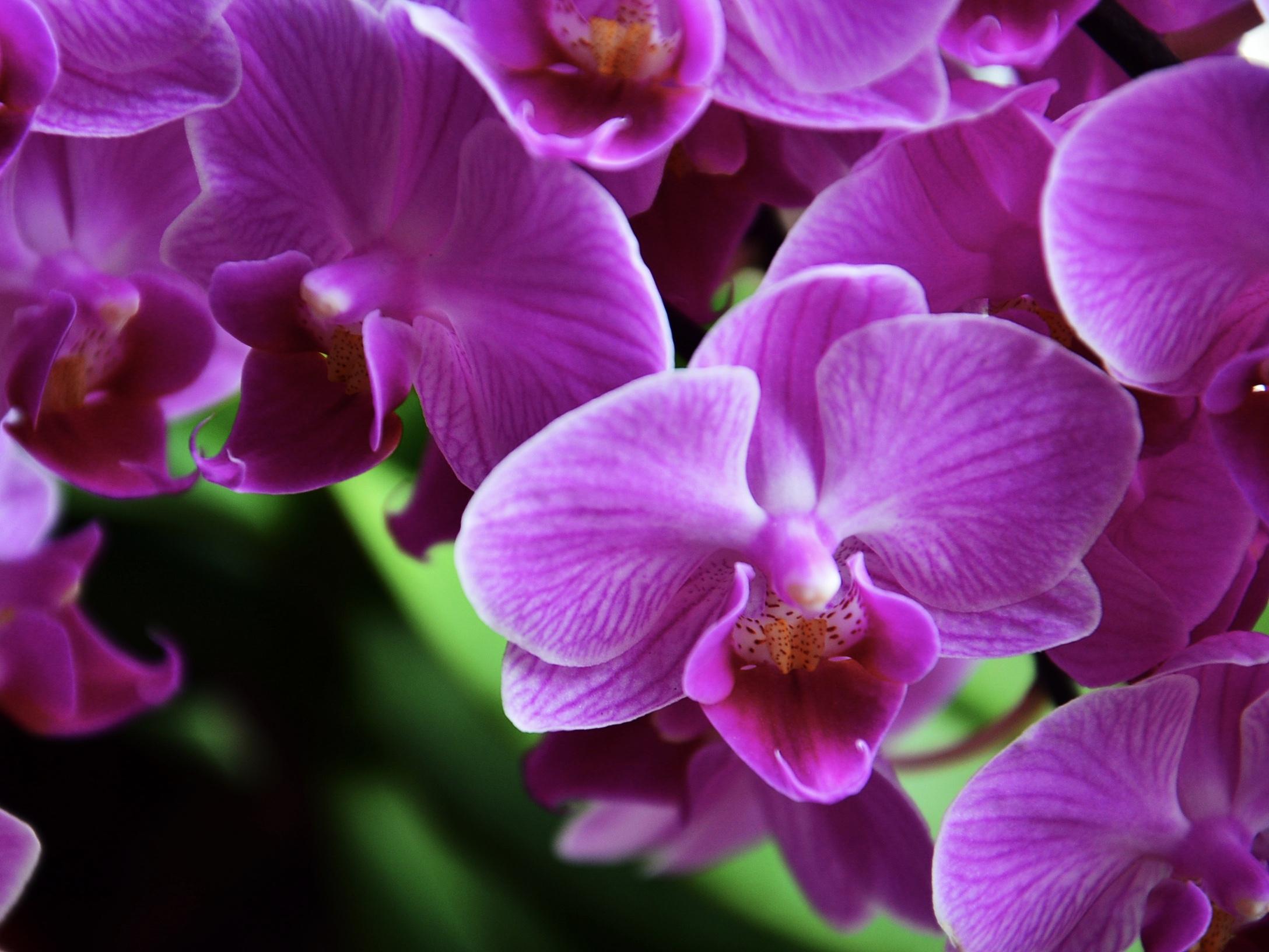 Orchid-dontics